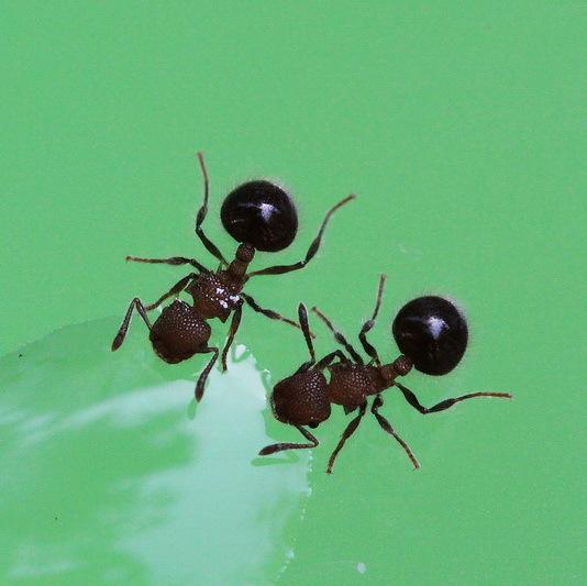 Муравей Forest ants  Meranoplus Laeviventris forest management