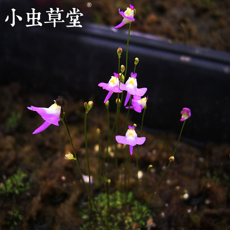 Insects Cottage  (Utricularia Warburgii)