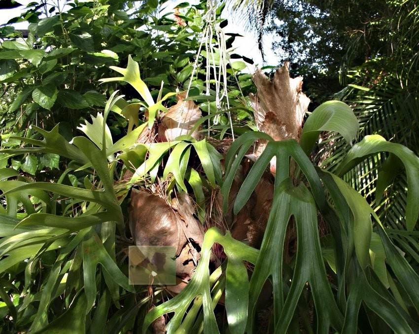 Семена Elkhorn staghorn fern platycerium 20 40 Platycerium azolla amazing aquatic fern