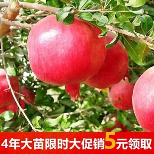 包邮石榴树苗南方北方种植庭院地栽盆栽果树苗突尼斯软籽当年结果