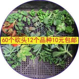 60个多肉植物砍头12个品种随机好养容易过夏10元包邮吸甲醛防辐射