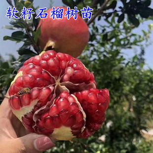 石榴树苗盆栽地栽蒙阳红大红袍河阴石榴苗南北方种植一年可结果