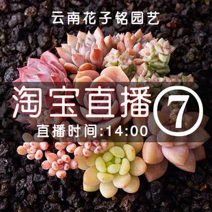 色彩云南花子铭园艺多肉植物 直播间七号7号一物一拍121-140