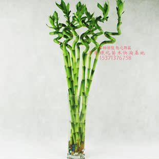 龙竹发财 室内 水养 节节高 植物竹子 植物竹多头多头粗竹盆栽竹