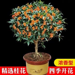 桂花树苗盆栽室内四季开花植物浓香型嫁接金桂丹桂沉香桂四季种植