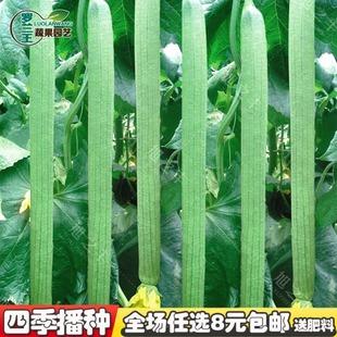 【五叶香丝瓜种子】高产早熟长丝瓜籽庭院阳台盆栽四季播蔬菜种子