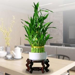 节节高竹塔富贵竹水培植物花卉水养室内办公室小绿植竹子盆栽包邮