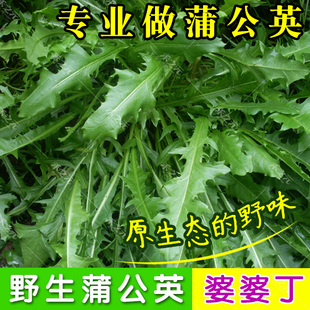 野生蒲公英种子的种籽四季婆婆丁孑春秋冬季种植药用盆栽蔬菜青菜