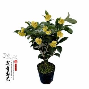四季桂花树苗盆栽常年开花浓香型庭院室内绿植花卉包邮