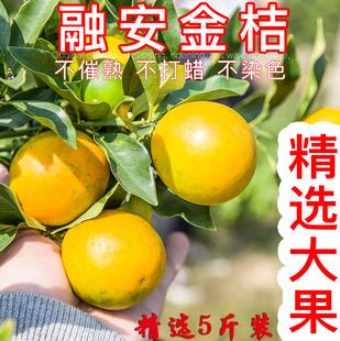 广西融安金桔新鲜橘子水果滑皮小金桔脆皮柑橘金橘 大果5斤包邮
