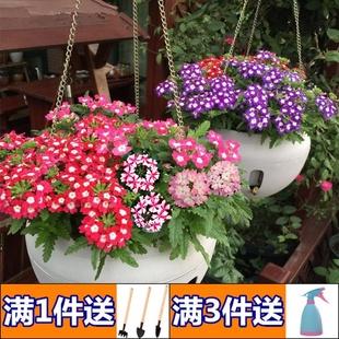 美女樱花籽四季易种活开花不断室内阳台花草盆栽植物庭院花卉种子