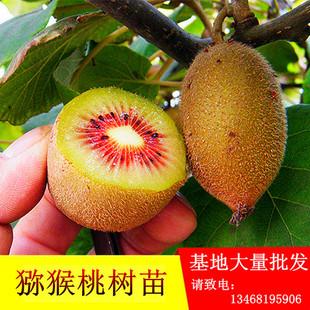 软枣猕猴桃树苗徐香嫁接地栽盆栽南方北方种植四季当年结果包邮