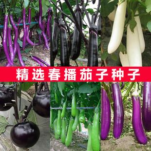蔬菜种子 紫红长茄种子 田园阳台盆栽茄子籽 四季种植瓜果种子