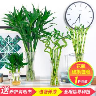 水养植物富贵竹客厅招财开运节节高水培带根粗大竹子室内盆栽绿植