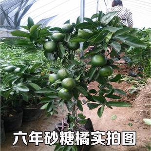 橘子树苗盆栽砂糖橘苗金桔子苗室内外南北方种植地栽柑橘当年结果