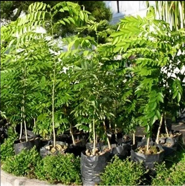 Растения и деревья для сада Huanghuali
