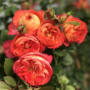 室内阳台观花盆栽绿植 切花玫瑰月季 攀援大花月季 藤本月季花苗