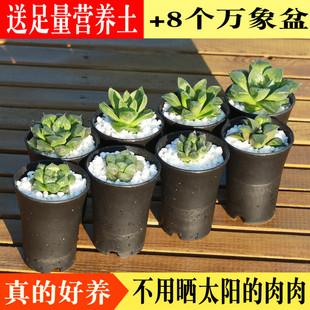 玉露绿色多肉植物肉肉新手套餐办公室内绿植桌面盆栽组合包邮含盆