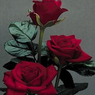 进口盆栽花卉大花玫瑰花苗四季庭院绿植玫瑰月季香味蔷薇苗包邮