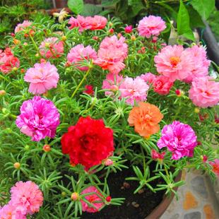 重瓣太阳花种子松叶牡丹四季种易活开花不断室内阳台盆栽花种籽子
