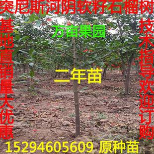 正宗河阴突尼斯耐冻嫁接软籽石榴树苗庭院盆栽地栽 纯度保证2年苗