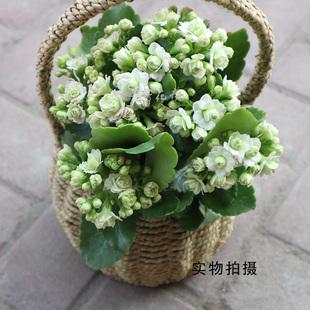 大花重瓣长寿花 绿巴黎 绿植盆栽 阳台  花卉盆栽  多肉植物