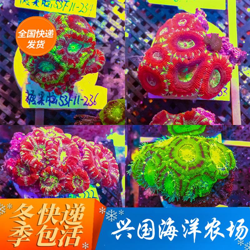 绿色糖果包 糖果脑珊瑚 双色刺脑 绿色 八字脑红色糖果脑活体海水鱼珊瑚包活_推荐淘宝好看的绿色糖果包