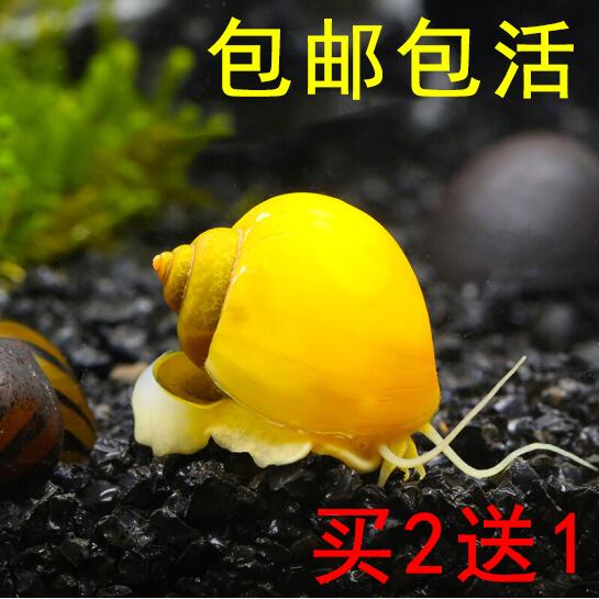 黄色贝壳包 黄金螺 观赏神秘螺贝壳宠物金黄色兔子蜗牛活体工具螺包活包邮_推荐淘宝好看的黄色贝壳包