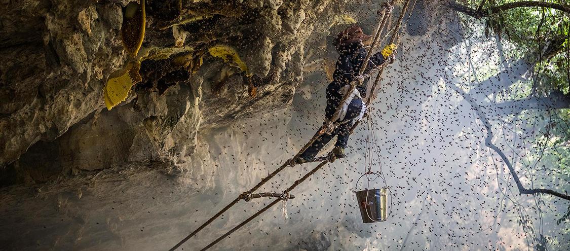 千米悬崖上的采蜜人:与几万只杀人蜂共舞