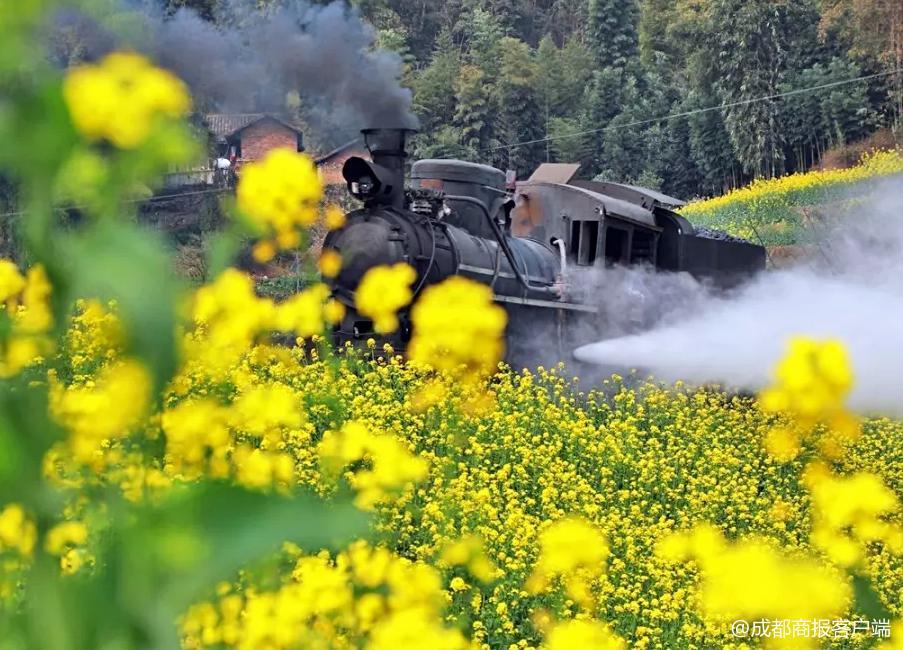 想搭嘉阳小火车看菜籽花花的速转!这段路将实行单向通行