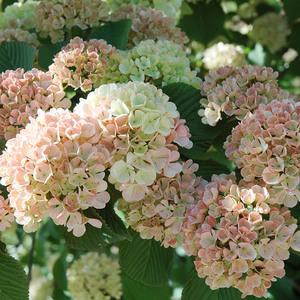 虹越木绣球粉精灵玛丽莎蝴蝶荚迷盆栽春季庭院易养花灌木庭院花卉