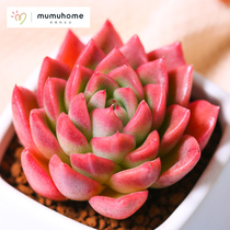 MuMuHome Red Jade succulent plant combination potted flower pot indoor mini green plant creative Meng more meat