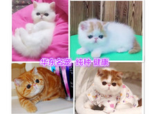 H purebred yellow-white-black Garfield kitten Long-haired Persian cat Red Tiger Spot pedigree Garfield pet pups in vivo