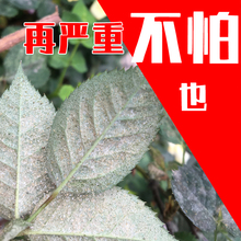 Flower-like spider insecticide Flower-plant general medicament Rose Gardenia Jasmine special mite-killing anther