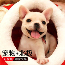 French Bulldog Pet Dog with Cream Colour
