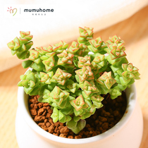 Mumuhome millet large fleshy plant flower pot indoor mini green plant creative plant Meng more meat