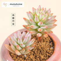MuMuHome tree ice meat plant combination potted flower pot mini green plant creative multi-meat without pots