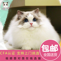 Fania purebred pet cat live seals two-color puppet cat blue two-color puppet cat Persian cat live kittens