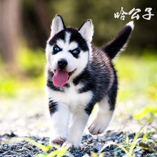 Pure Harpoon Husky Puppy Large Alaskan Puppy Living Sled Dog Pet Dog Puppy