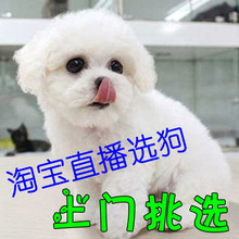 Pixiong Puppy Live Selection Pure White Pet Dog Living Pixiong Small Curly Domestic Dog Flying Ears