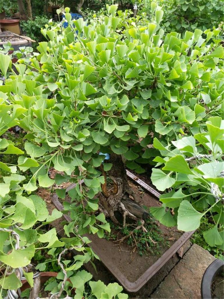 银杏盆栽养护,注意这些点,深秋挂果实
