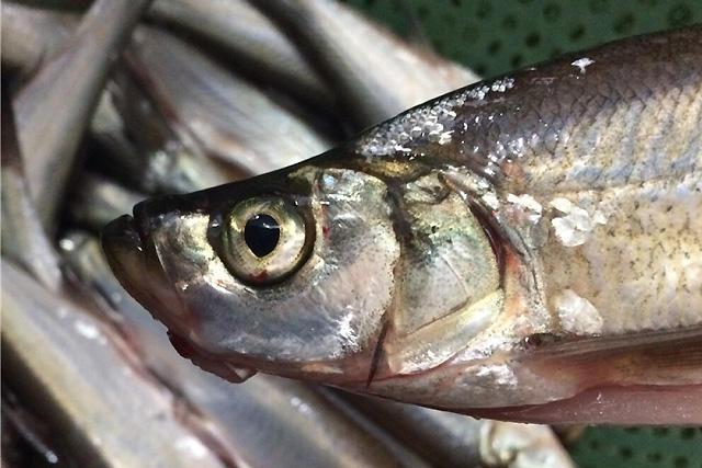 翘嘴白鱼有多好吃?竟然被选为皇室贡品!